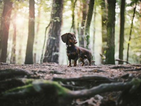 Dachshund in forest