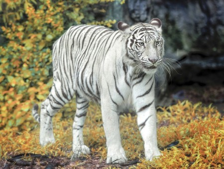 White tiger look