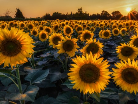 Sunflowers field under sun rays