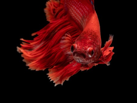 Red fish in balck water
