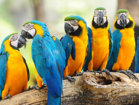 Yellow-blue parrots