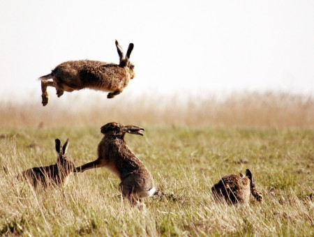 Rabbits in the steppe