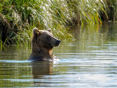 Bear in water