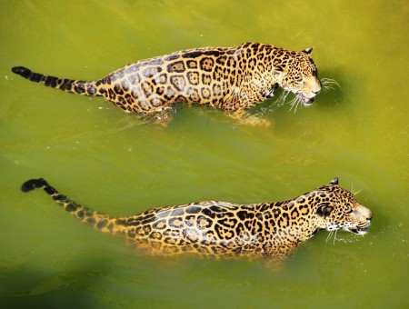 Two cheetahs in the water