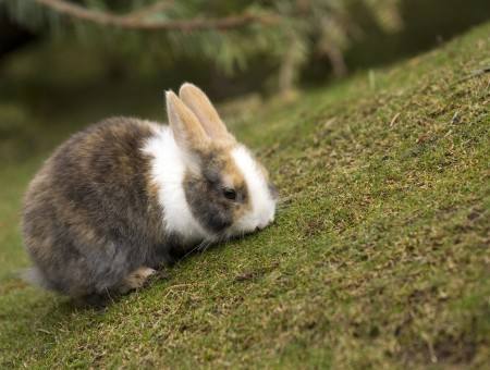 Rabbit sniffing grass