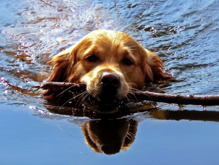 Dog with branch is swimming