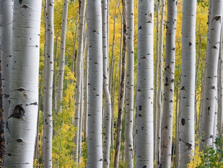 Birch trees forest