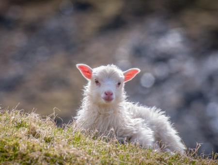 Young sheep on the hillside